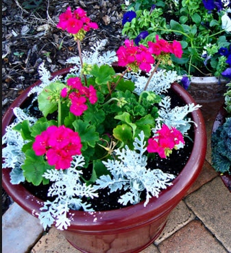 container-annuals-survived-chicago-winter