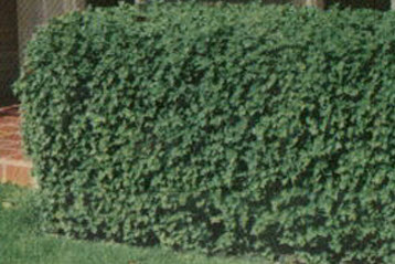 hedge-in-wickham park-chicago