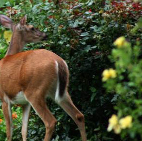 illinois-deer-in-garden