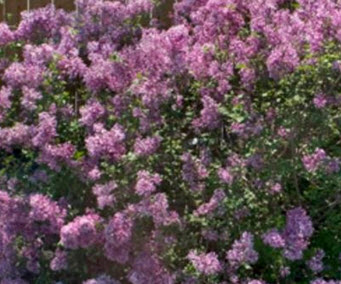 planting-fragant-lilacs-in-chicago
